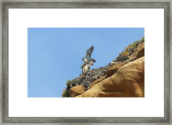 Peregrine Falcons - 3 Framed Print