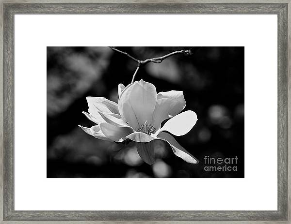 Perfect Bloom Magnolia In White Framed Print