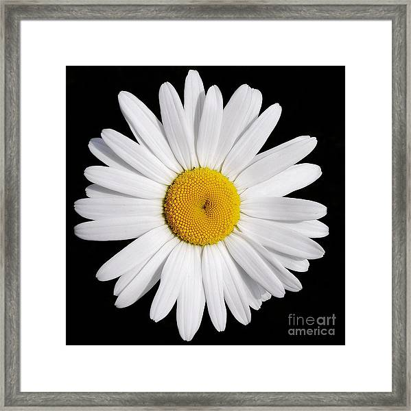 Perfectly Daisy Framed Print
