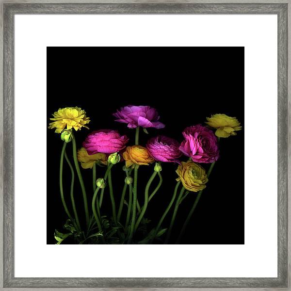 Persian Buttercups Ranunculus Asiaticus Framed Print