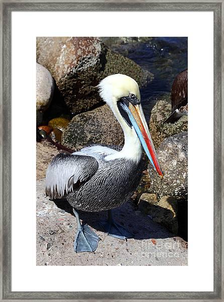 Peruvian Pelican Framed Print