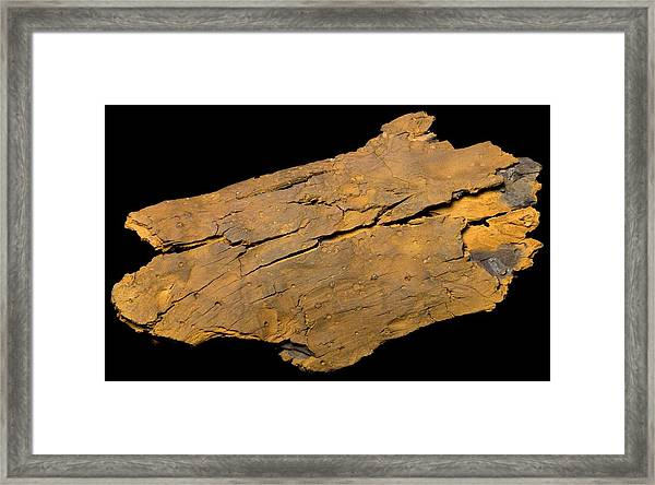 Petrified Wood Framed Print by Pascal Goetgheluck/science Photo Library