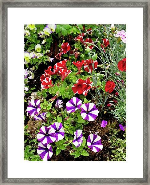 Petunia Flowers Framed Print by Ian Gowland