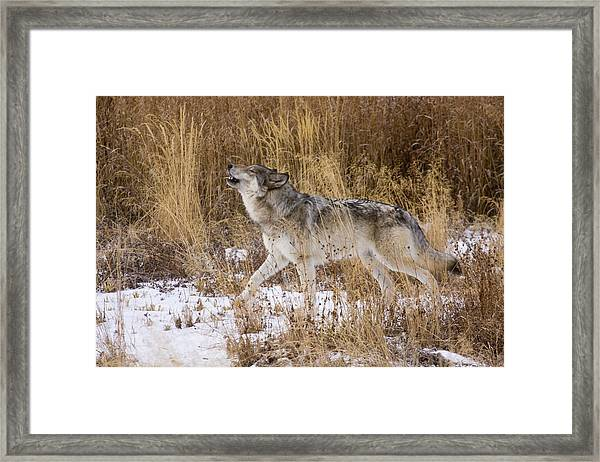 Phantom Lake Wolf Framed Print