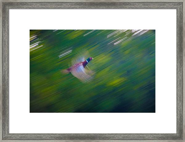 Pheasant Flight Framed Print