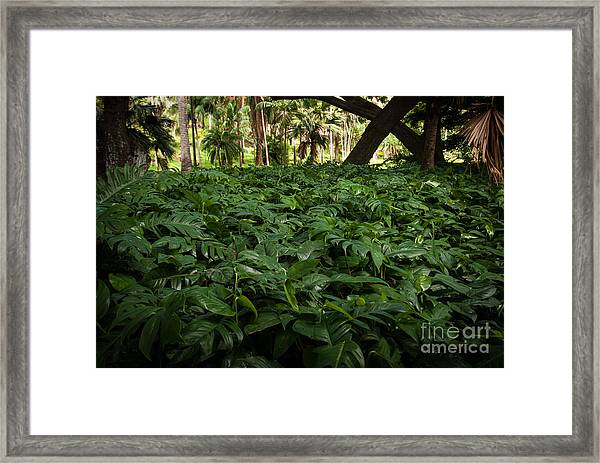 Philodendron Covering Framed Print