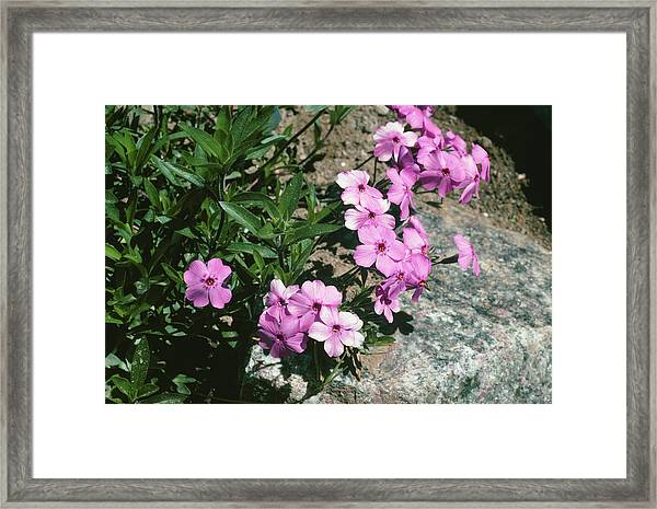 Phlox Amoena Framed Print by Bob Gibbons/science Photo Library