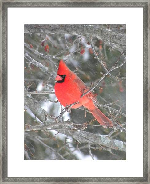 Picture Perfect Cardinal Framed Print