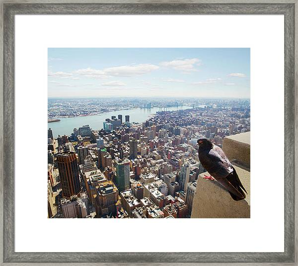 Pigeon Looking At View Of Manhattan Framed Print
