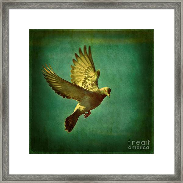 Pigeon Mating Flight Framed Print