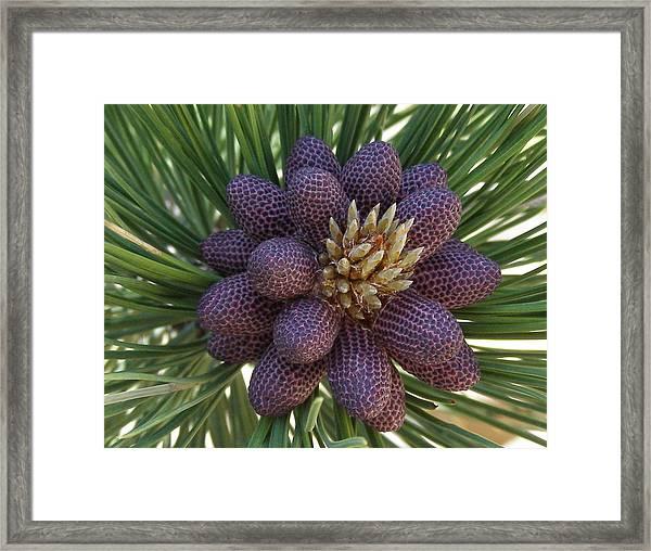 Pine Birth  Framed Print