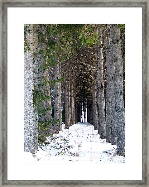 Pine Cathedral Framed Print
