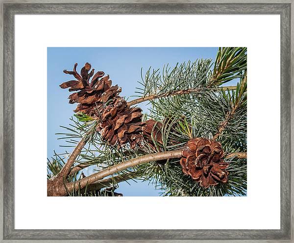 Pine Cones Framed Print