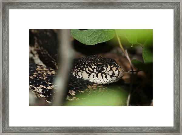 Pine Snake Framed Print