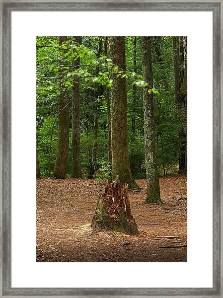Pine Stump Framed Print