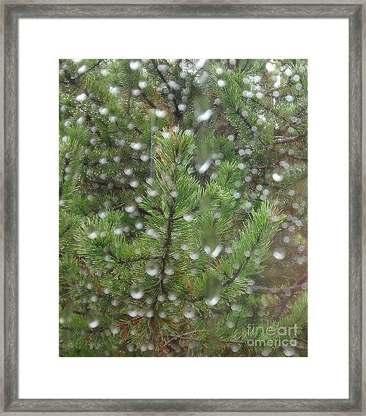 Pine Tree In The Rain Framed Print