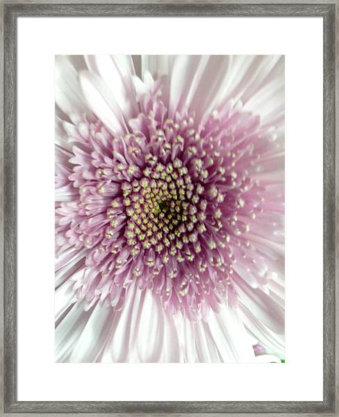 Pink And White Chrysanthemum Framed Print