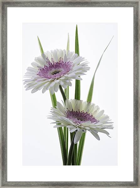 Pink And White Gerbera Framed Print