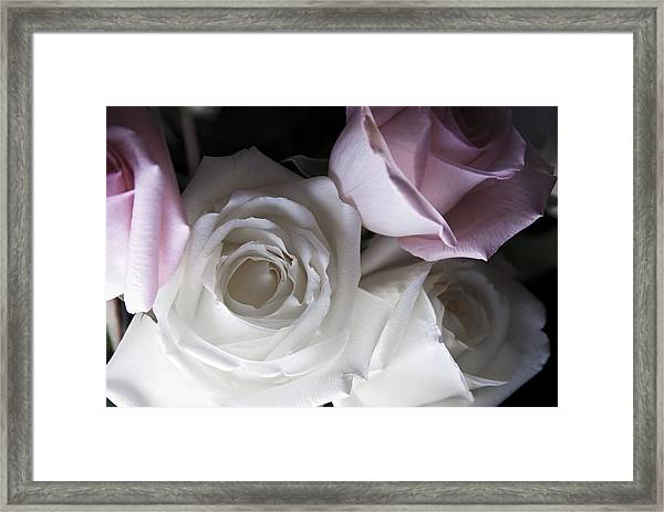 Pink And White Roses Framed Print