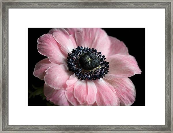 Pink Anemone Framed Print