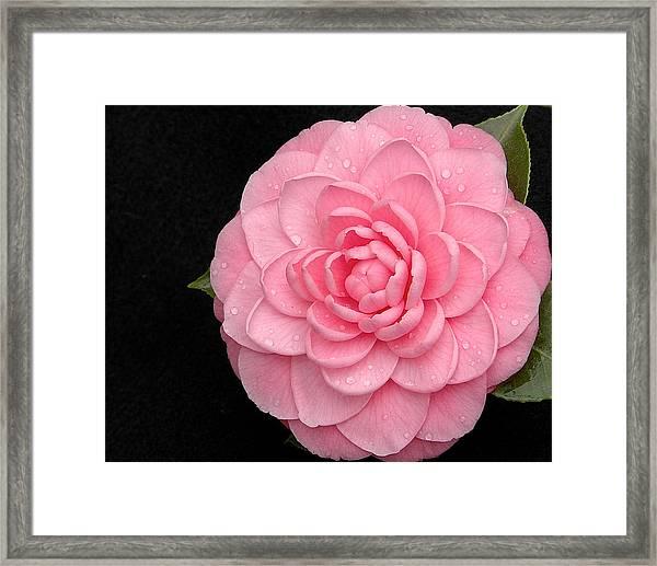 Pink Camellia After Rain Framed Print