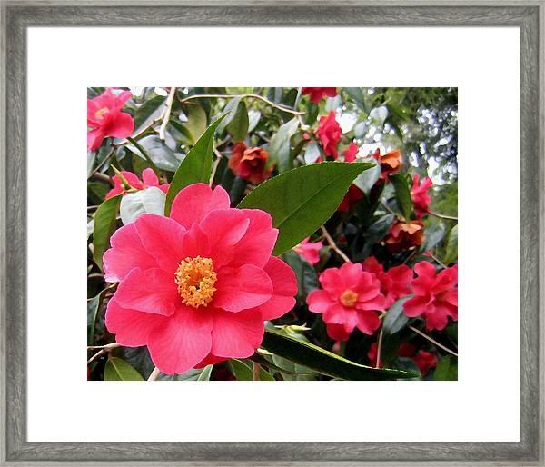 Pink Camellias Framed Print