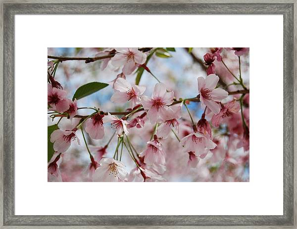 Pink Cherry Blossoms Framed Print