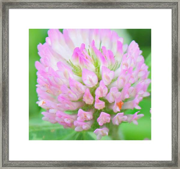 Framed Print featuring the photograph Pink Clover by Candice Trimble