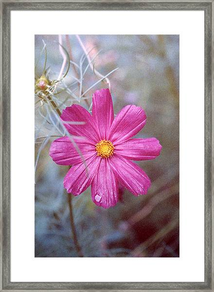 Pink Cosmos Framed Print