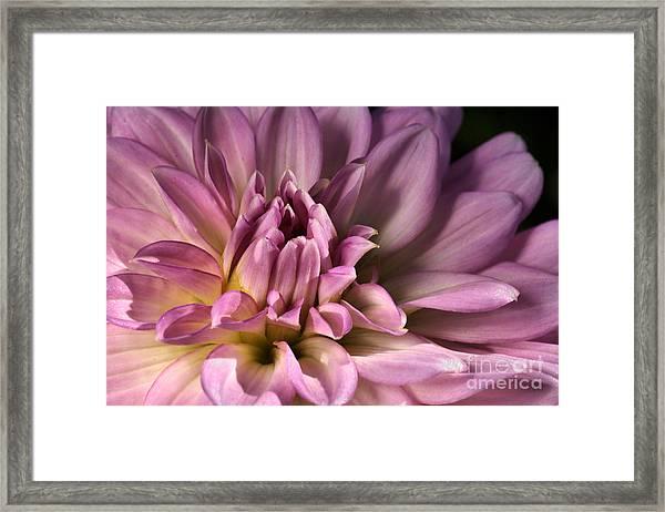 Pink Dahlia's Dream Framed Print