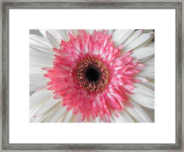 Pink Daisy Flower Framed Print