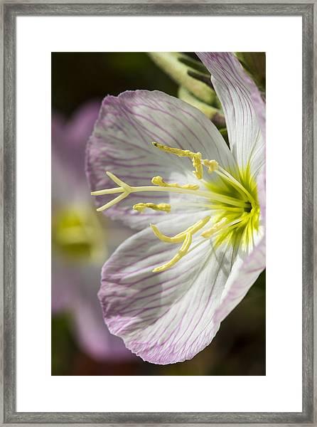 Pink Evening Primrose Flower Framed Print
