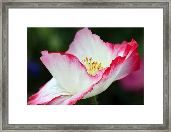 Pink-fringed Poppy Framed Print