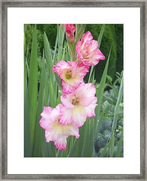 Pink Gladiolus Framed Print
