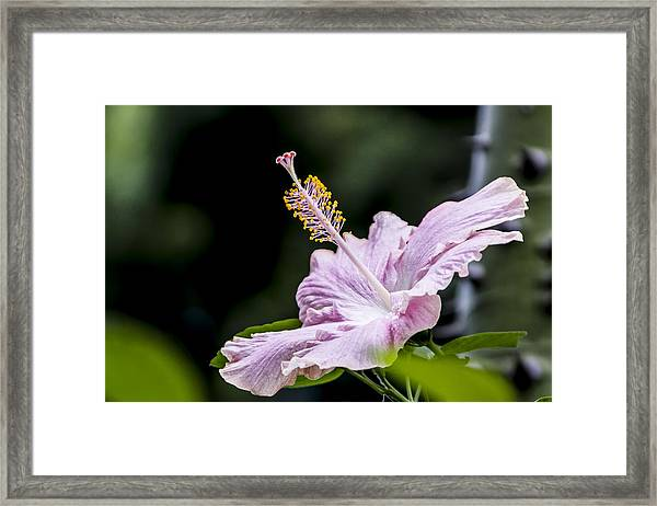 Pink Hibiscus Flower Framed Print