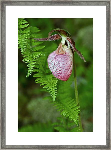 Pink Lady Slipper Framed Print