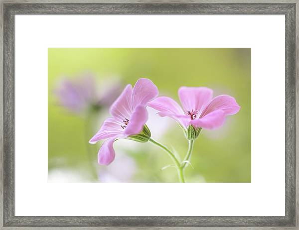 Pink Melody Framed Print by Mandy Disher