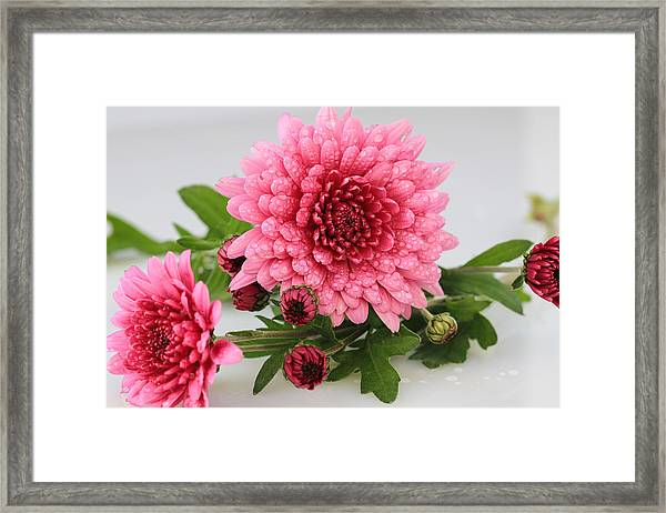 Pink Mums Framed Print