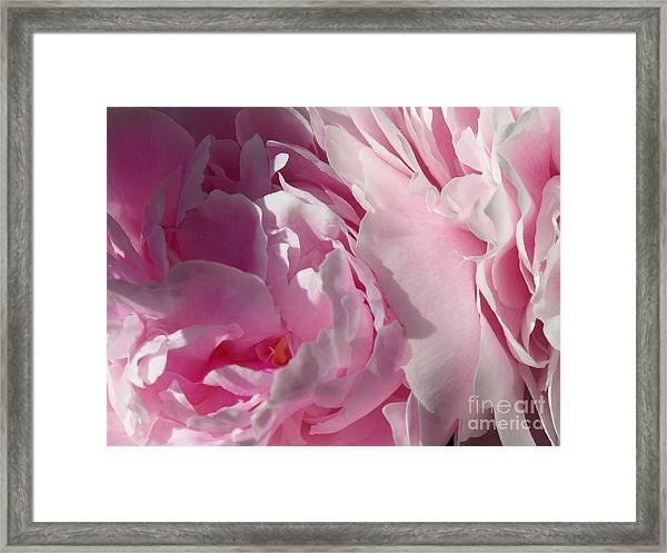 Pink Peonies Framed Print