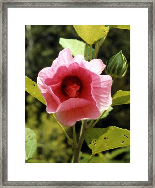 Hibiscus Pink Perfection Framed Print