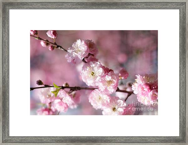 Pink Plum Branch 1 Framed Print