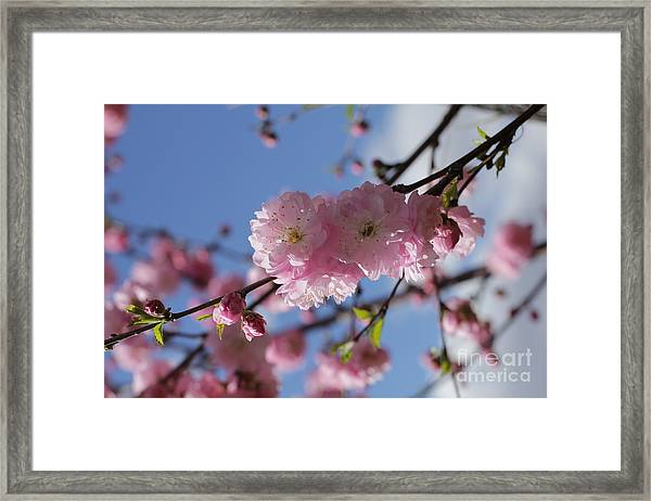 Pink Plum On Sky 2 Framed Print