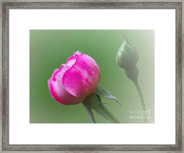 Pink Rose And Raindrops Framed Print