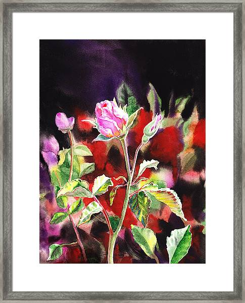 Pink Rose Bloom Framed Print