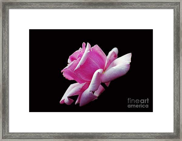 Pink Rose On Black Framed Print