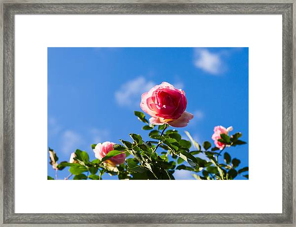 Pink Roses - Featured 3 Framed Print