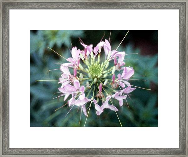 Pink Cleome' Framed Print