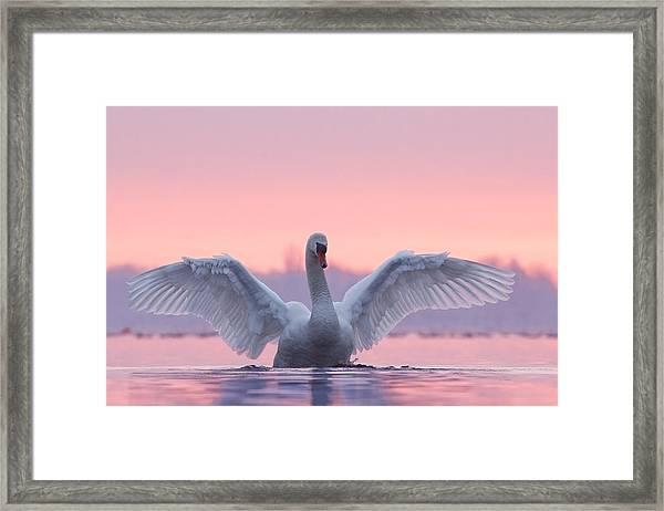 Pink Swan Framed Print