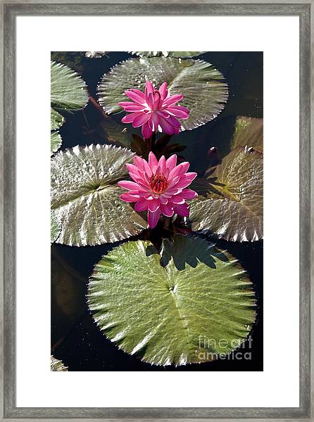 Pink Water Lily IIi Framed Print