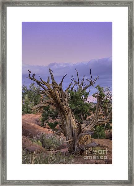 Pinon Pine Framed Print